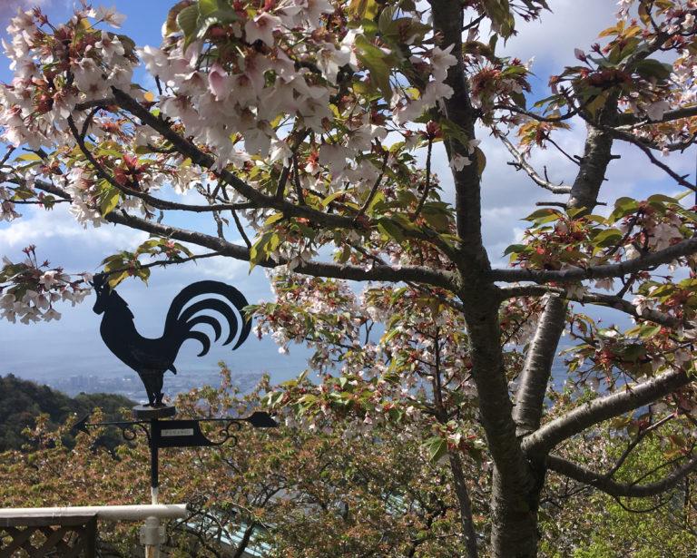 六甲山荘の桜