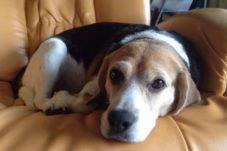 犬と暮らす住まい ビーグル犬,神戸,設計事務所